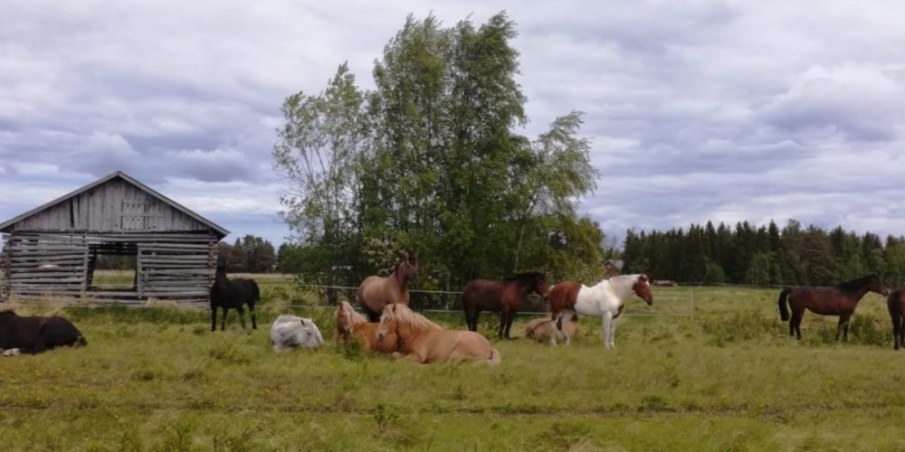 horses on the pasture, a grey barn